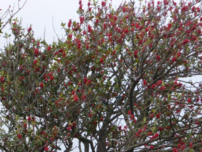 Holly Berries still