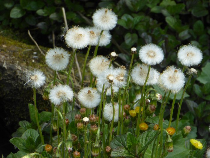 Coltsfoot seed heads