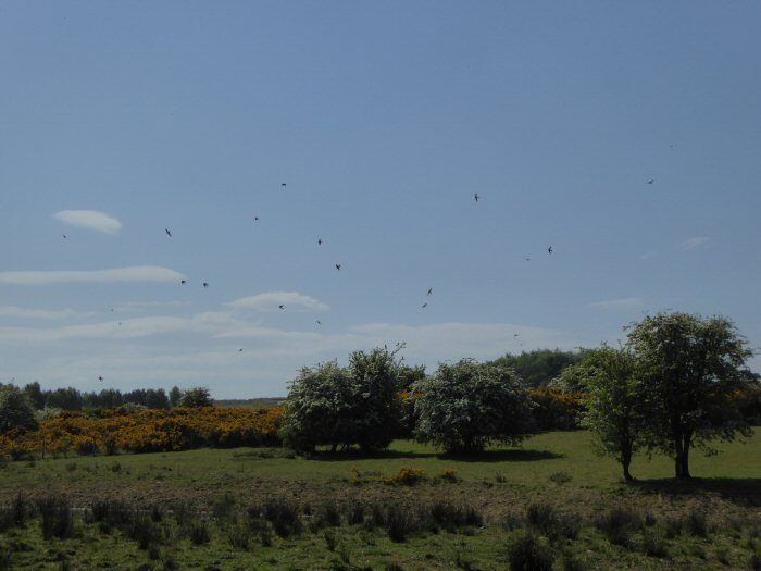 House Martins Drinking