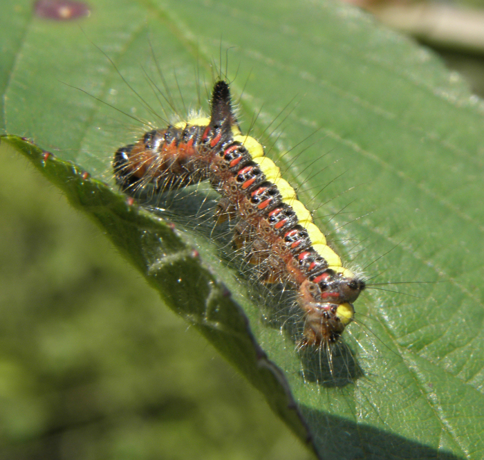 Grey Dagger Moth caterpillar