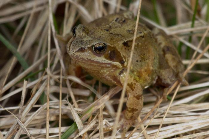 Female frog