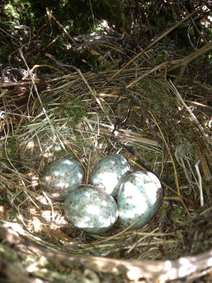 Ring Ouzel nest
