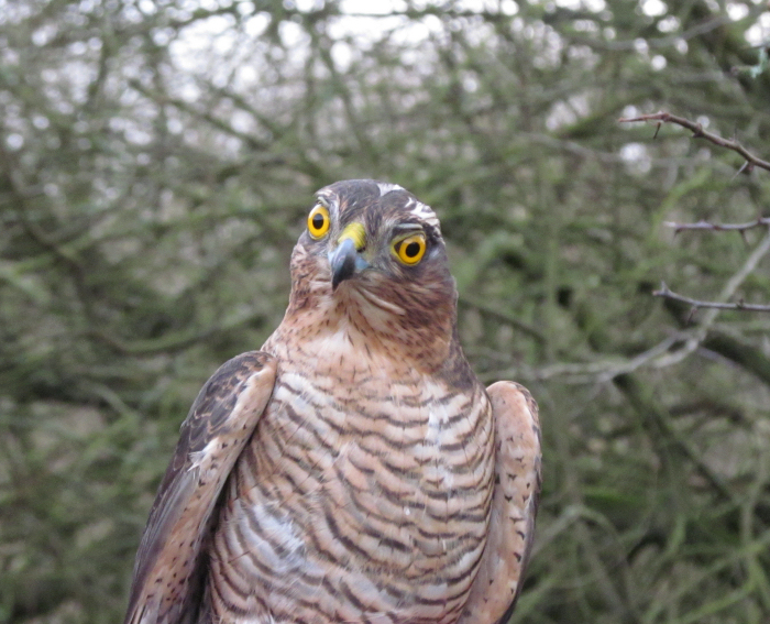 A young Sparrowhawk