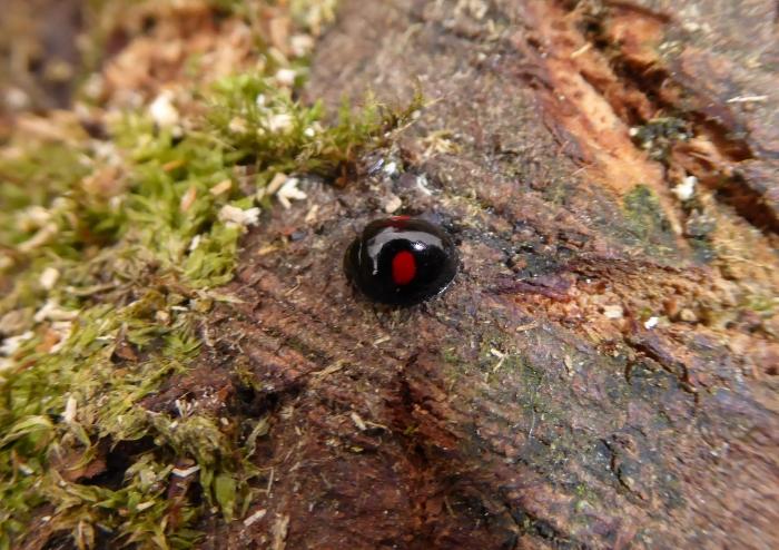 Kidney Spot Ladybird