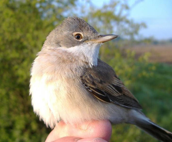 A Whitethroat