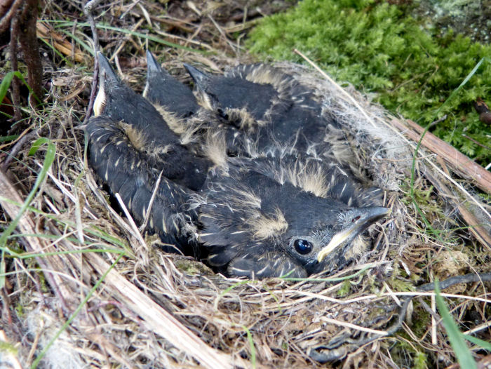 Ring Ouzel nest and chicks