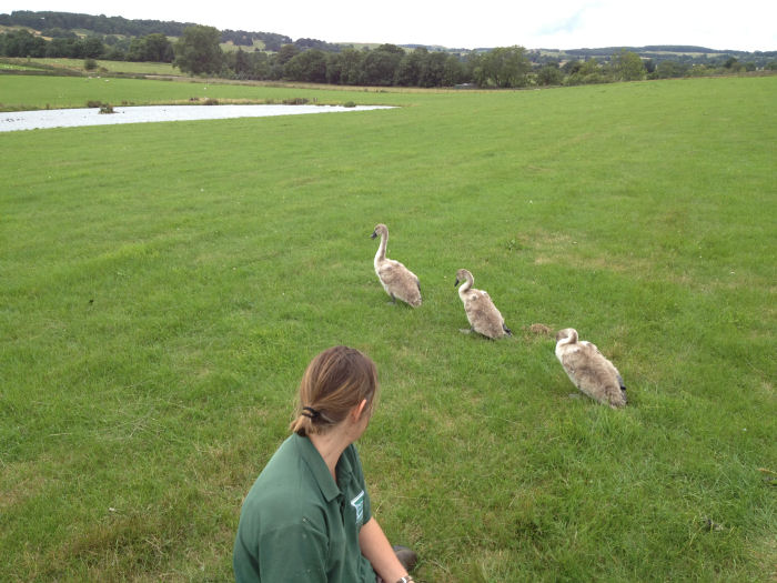 Releasing the cygnets