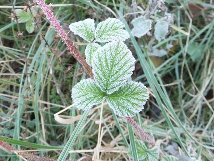 Frost-covered Bramble leaf