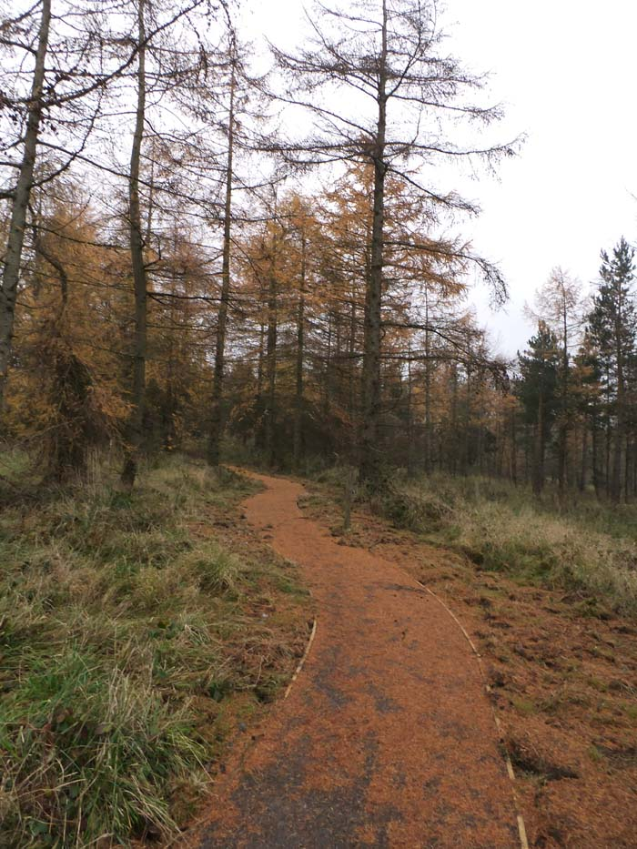 Apricot Larch needles covering a path through the trees.