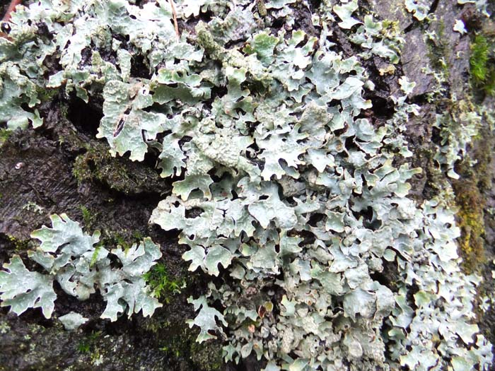 grey/green lichen on tree bark