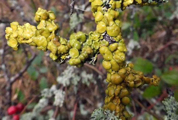 yellow/green lichen