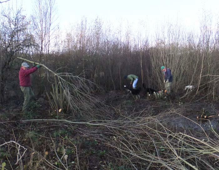Volunteers cutting down WIllow