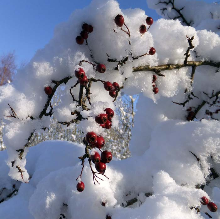 Hawthorn berries in the snow