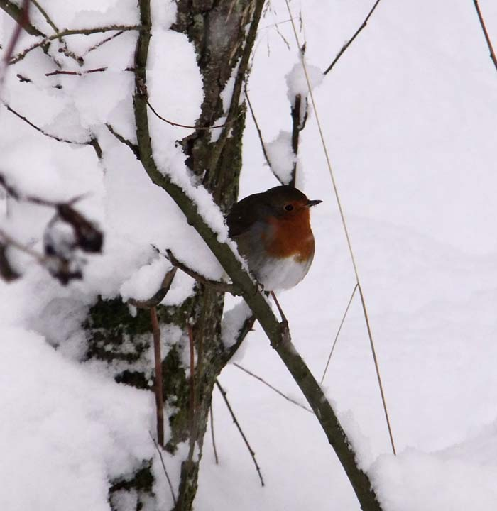 Robin on peanut feeder