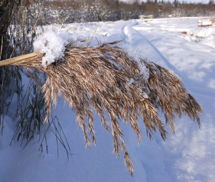 Seed head of Phragmites
