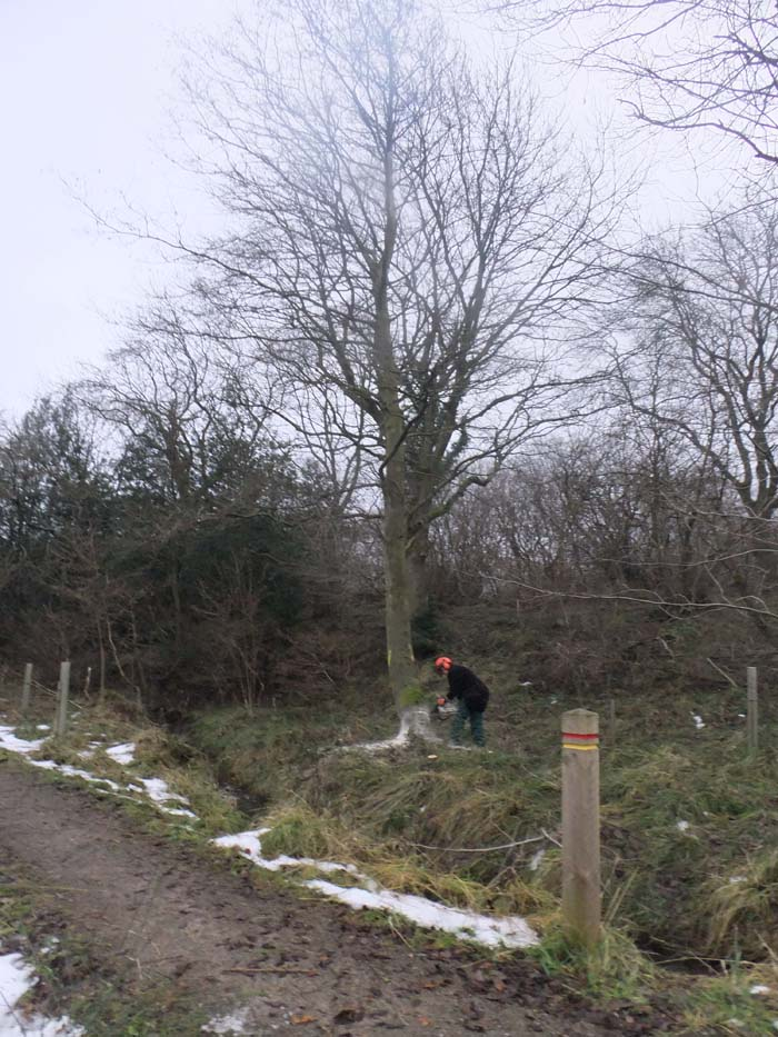 Alder being cut down