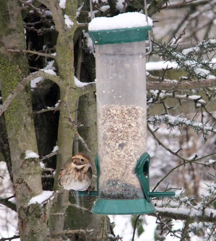 Reed Bunting on feeder