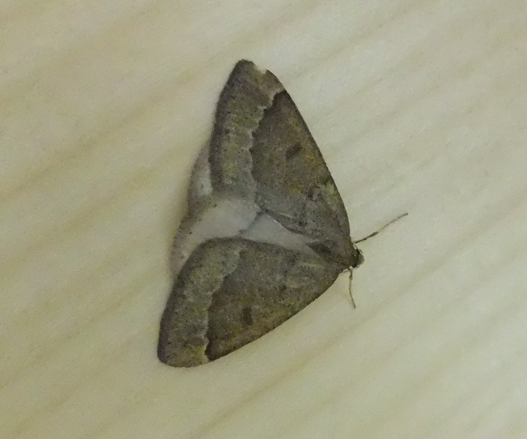 Male Early moth