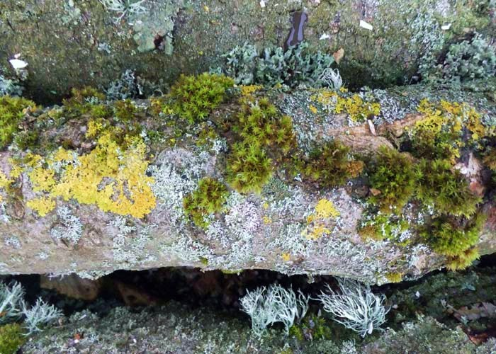 Moss and Lichen on fallen Ash tree