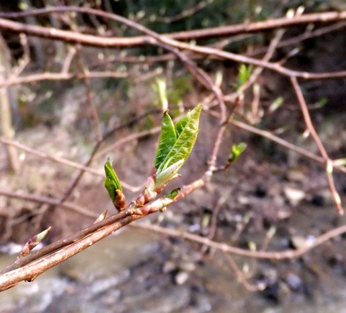 Emerging leaves of Bird Cherry
