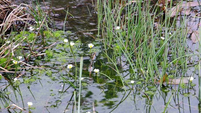 Water Crowfoot