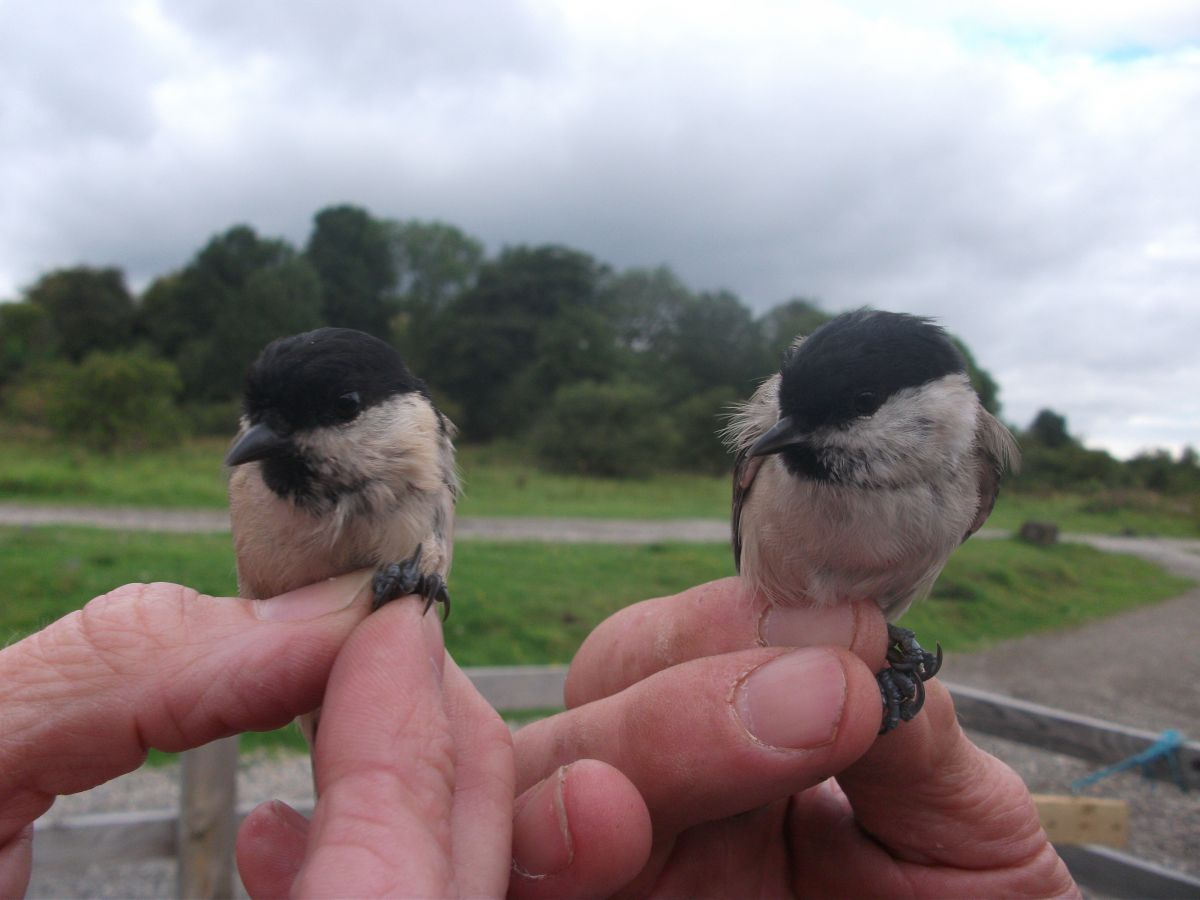 Marsh Tit and Willow Tit