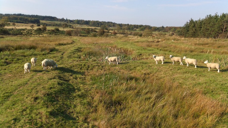 Sheep on the wetland
