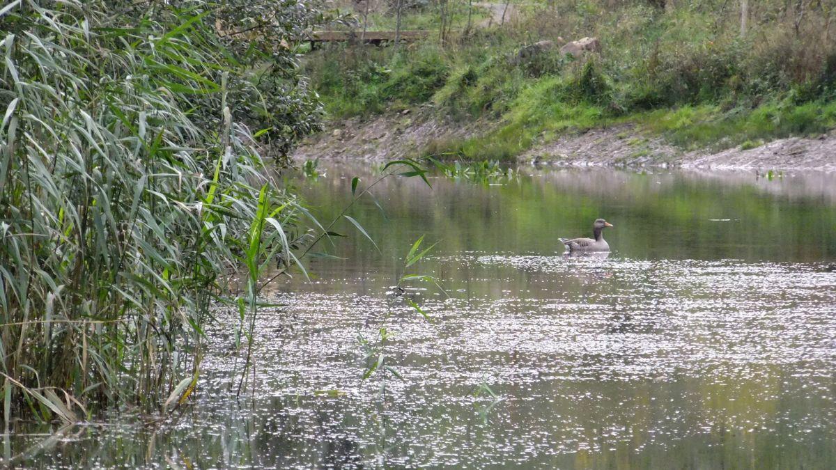 Graylag Goose on the Lake
