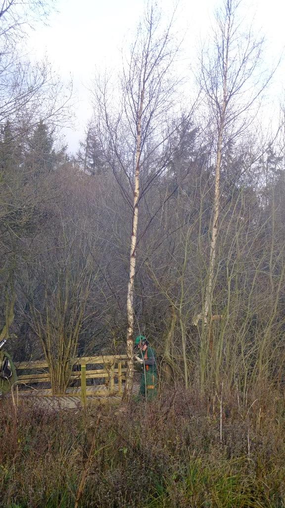Felling Birch