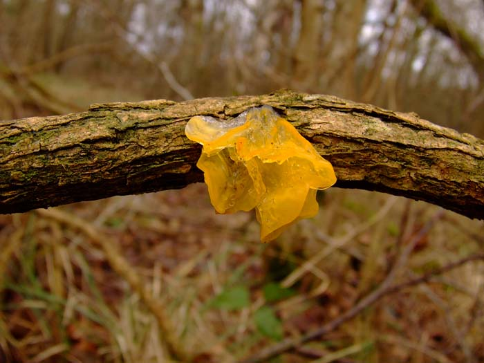 yellow fungus