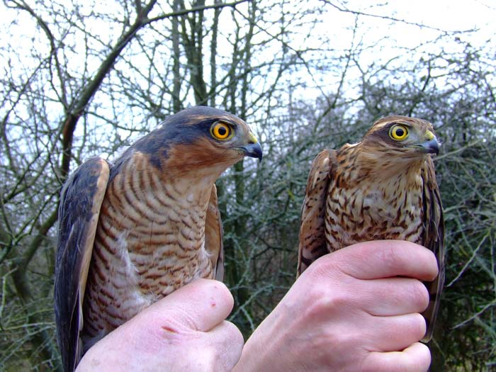 father and son sparrowhawks