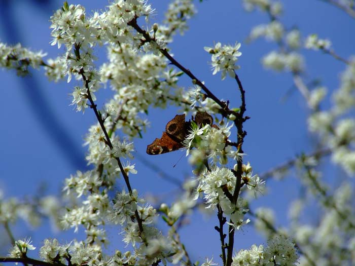 butterfly on the blossom