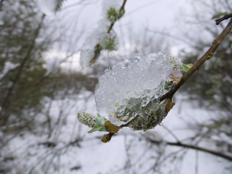 Catkins in ice