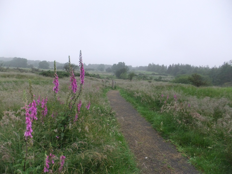 Foxgloves on the moorland