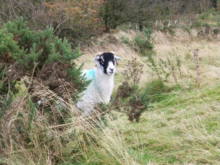 Sheep on moor