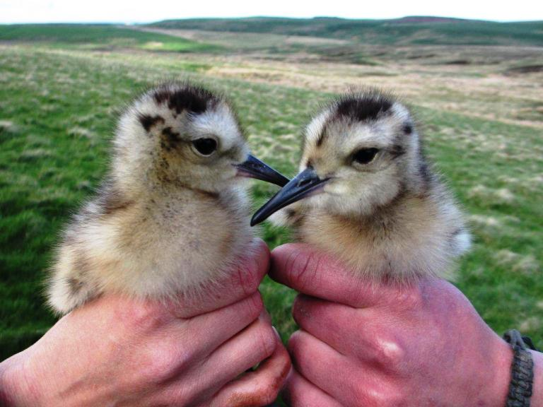 Curlew_chicks