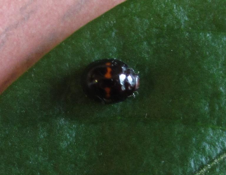 Heather_ladybird