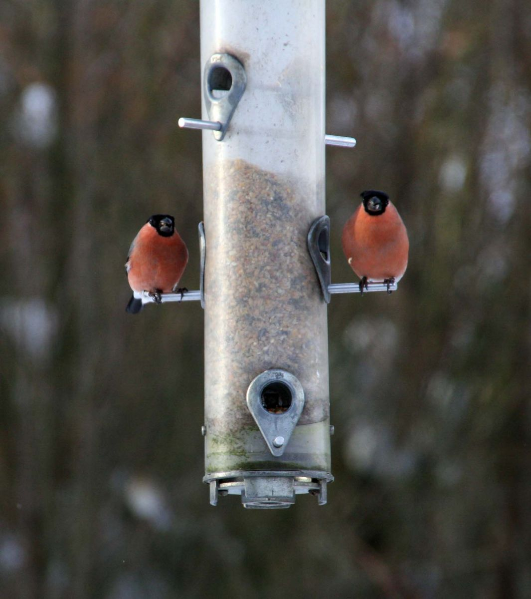 Bullfinch on a feeder