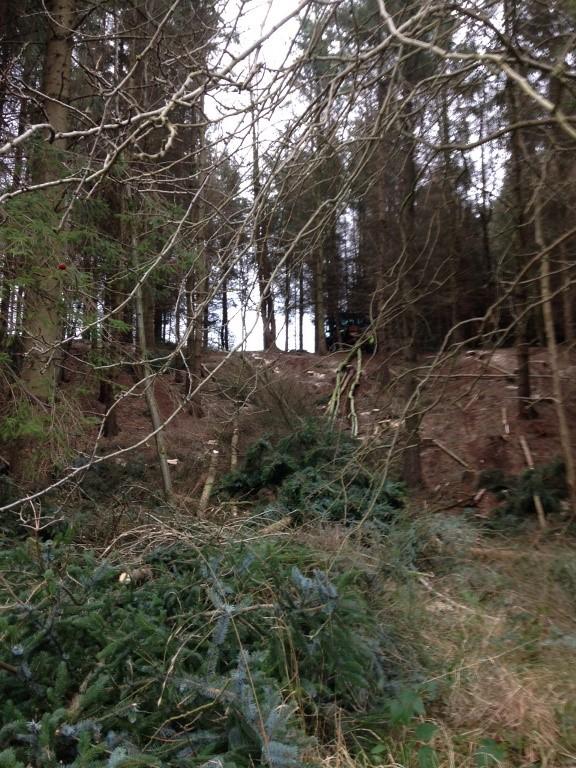 Felled conifers