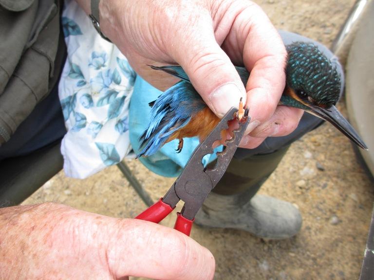 Ringing Kingfisher