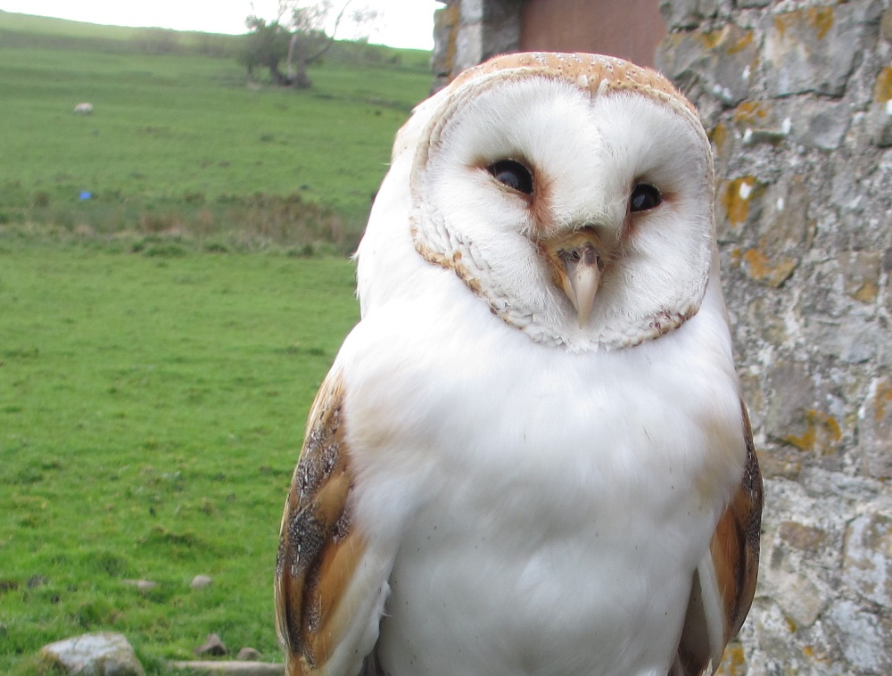 Breeding Barn Owls | Blog | Foxglove Covert Local Nature ...