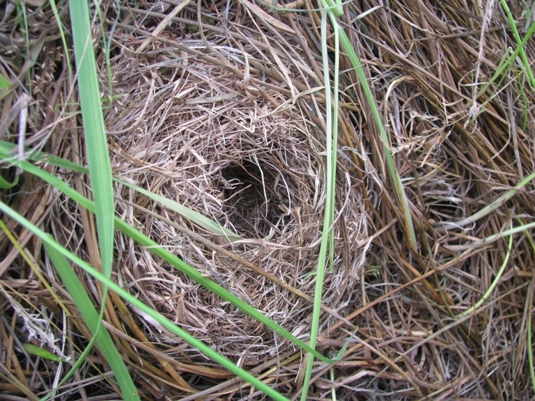 Field Mouse Nest