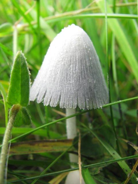 Snowy Inkcap fungus