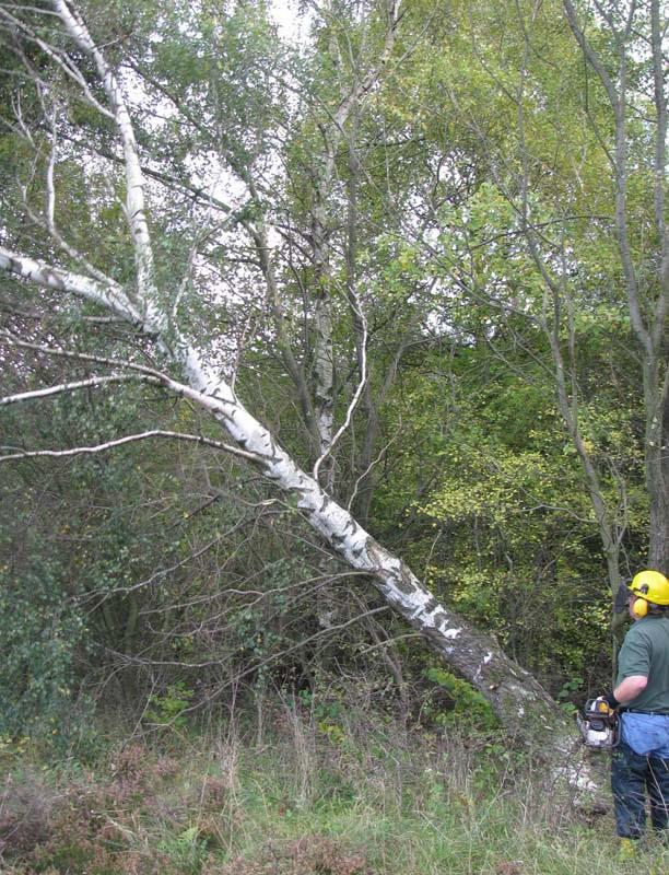 Tim felling a birch