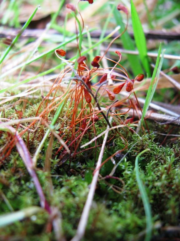 Redshank Moss