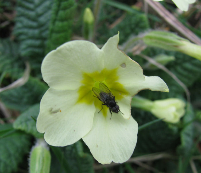 Primrose and fly