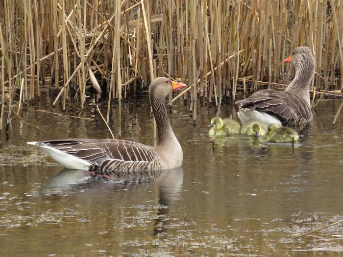 Greylag Geese and young