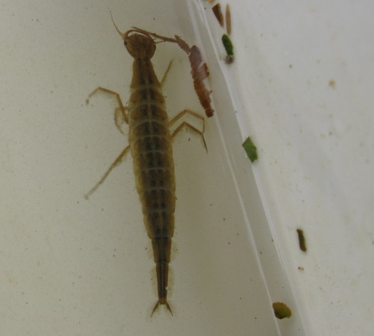 Diving Beetle larva
