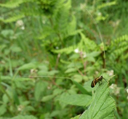 Unidentified insect with long antennae