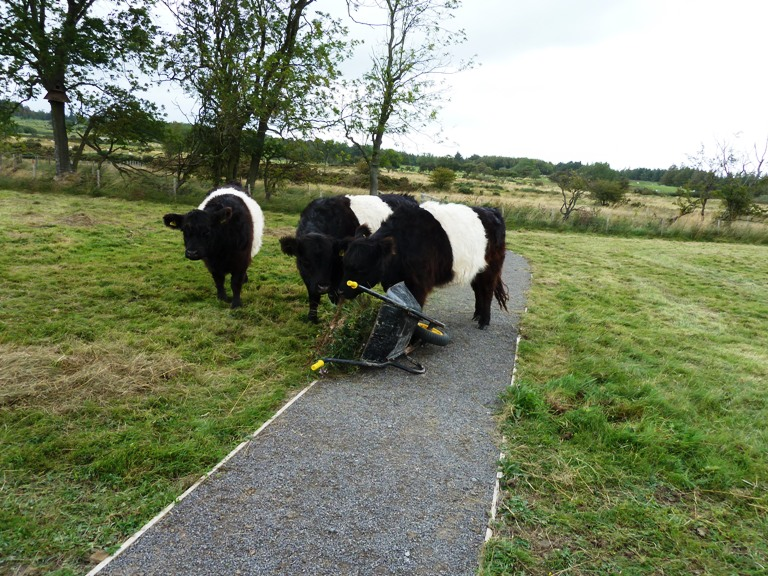 The cows were keen to lend a hand!